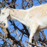 las misteriosas cabras de